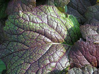 Brassica juncea - Image: Roter Senf Red Giant Blatt