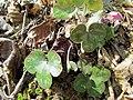 Roundlobe Hepatica, Round-lobed Liverleaf (Hepatica americana, Anemone americana) Nature Hike Duke Forest Durham NC 0279 (26668250405).jpg