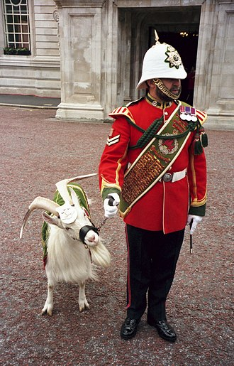 Royal Regiment of Wales - The goat mascot and Goat Major of the Royal Regiment of Wales, 1999.