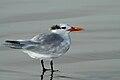 Royal Tern (Sterna maxima).jpg