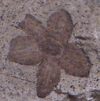 Ebenaceae - Royena graeca, fossil flower