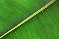 Rubber Plant Leaf (2727484587).jpg