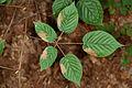 Rubus allegheniensis NRCS-010.jpg
