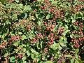 Rubus fruticosus 16 ies.jpg