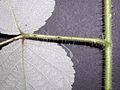 Rubus phoenicolasius 5449909.jpg