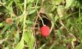 Rubus rosifolius Bioko 2013 fruit.tiff