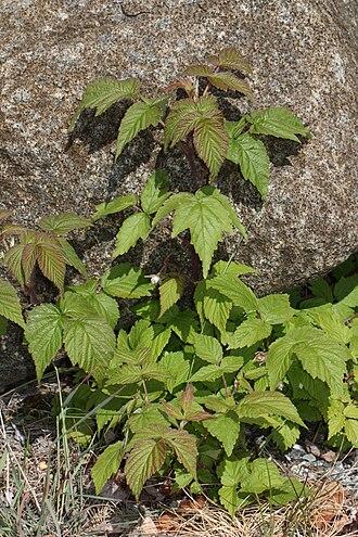Rubus strigosus - Rubus strigosus near Matanuska Glacier, Alaska