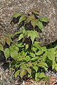 Rubus strigosus 8782.JPG