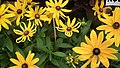 Rudbeckia from Lalbagh flower show Aug 2013 8285.JPG