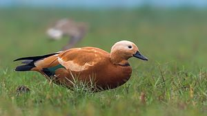 Ruddy shelduck - At Chilika lake,  Mangalajodi, Odisha, India