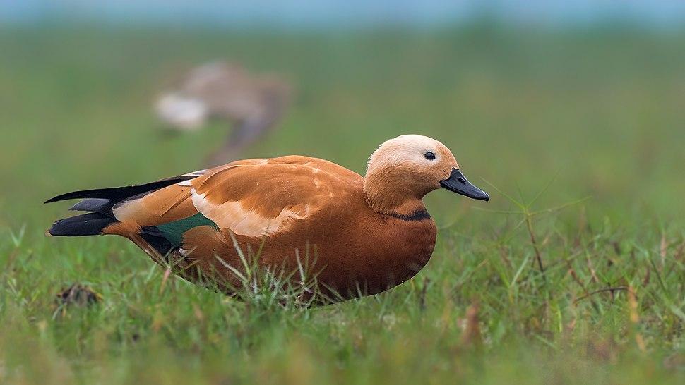 Ruddy Shelduck or Brahminy Duck