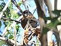 Rufous-backed Robin (5571907737).jpg