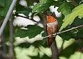 Rufous Hummingbird (29586787801).jpg