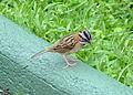 Rufous collared sparrow.jpg