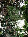 Ruizia cordata1.jpg