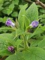 Russian Comfrey (Syphytum × uplandicum) (5057885395).jpg