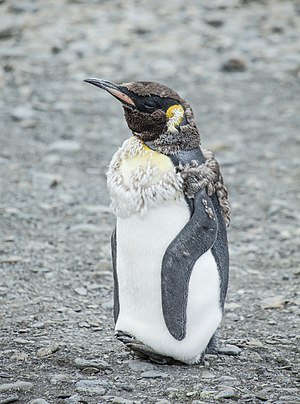 Moulting - A king penguin with developing replacement feathers, sometimes called pin feathers