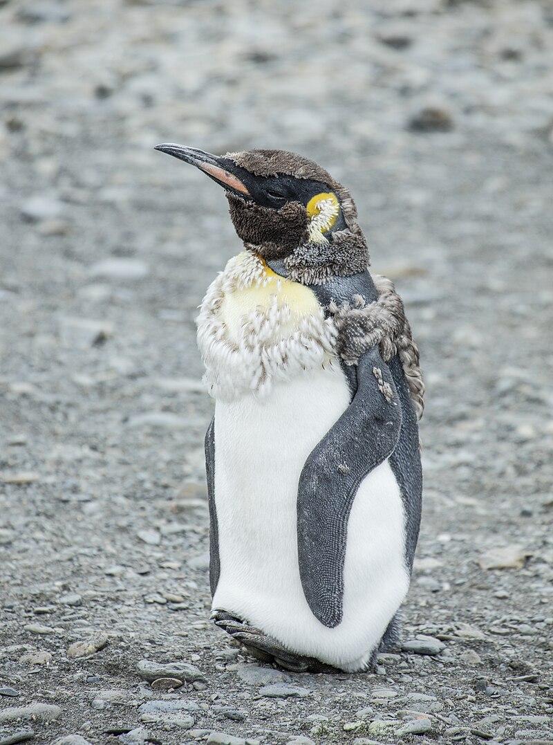 SGI-2016-South Georgia (Fortuna Bay)%E2%80%93King penguin (Aptenodytes patagonicus) 05.jpg