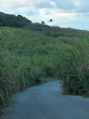 Economy of Barbados - The cultivation of sugar cane, such as the cane growing in this field outside Saint Andrew, has always been a big part of the island's economy.