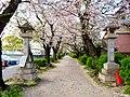 Sakura along approach to Itahato-jinja - 1.jpg
