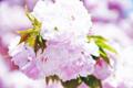 Sakura takatsuki.png