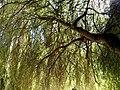 Salix babylonica - Saule pleureur.jpg