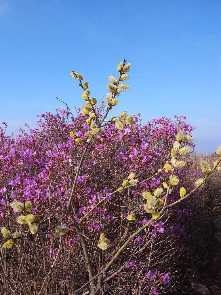 Sauce cabruno (Salix caprea).