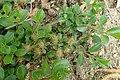 Salix simulatrix kz02.jpg