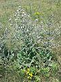 Salvia aethiopis sl6.jpg
