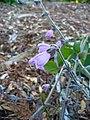 Salvia hians (Scott Zona) 001.jpg