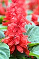 Salvia splendens Empire Red 2zz.jpg