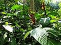 Sanchezia in the jungle - panoramio (2).jpg