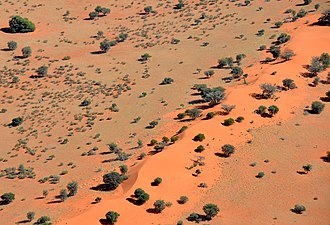 Kalahari Desert - Camel thorn scattered on dunes in the Kalahari Desert