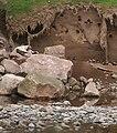 Sand martins at a bluff, River Eden near Lazonby.jpg
