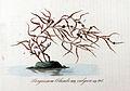 Sargassum columbi — Flora Batava — Volume v11.jpg