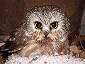 Saw Whet Owl (5062206037).jpg