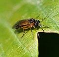 Sawfly sp. - Flickr - S. Rae (3).jpg