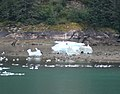 Sawyer Glacier Ice with Black Bears (241881662).jpg