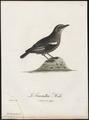 Saxicola formicivora - 1796-1808 - Print - Iconographia Zoologica - Special Collections University of Amsterdam - UBA01 IZ16200336.tif