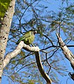 Scaly-headed Parrot (Pionus maximiliani) (30937506554).jpg