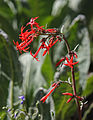 Scarlet gilia Ipomopsis aggregata flowers.jpg