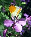 Schmetterling auf Bluete 1.jpg