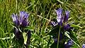 Schwalbenwurz-Enzian (Gentiana asclepiadea) auf dem Brocken 02.jpg