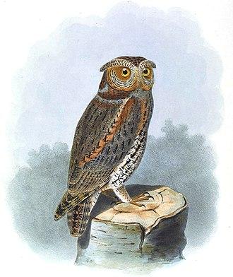 Flammulated owl - Image: Scops Flammeola Smit