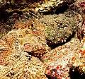 Scorpionfish pair (Scorpaena plumieri).jpg
