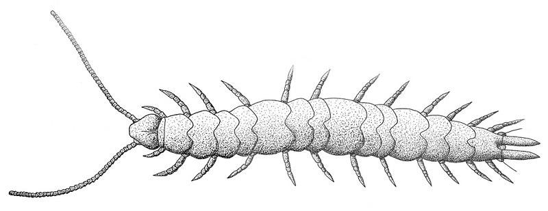 Scutigerella immaculata male.jpg