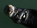 Sea otter with shells at Moss Landing.jpg