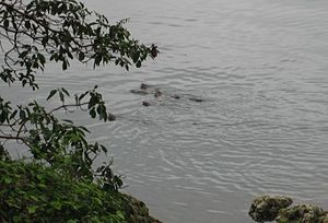 McKenzie Bight - River otters feeding, May 2007