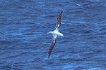Seabirds of the Drake Passage crossing to the Antarctic Peninsula.Wandering Albatross (Diomedea exulans). (25877747872).jpg