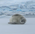Seal Near Fish Islands.JPG
